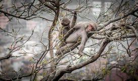 Macaco do sono Imagem de Stock
