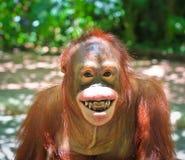 Macaco do sorriso Fotos de Stock Royalty Free