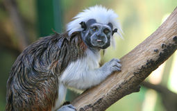 Macaco do Tamarin Fotografia de Stock Royalty Free