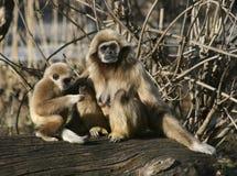 Macaco do Tamarin com bebê Foto de Stock