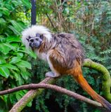 Macaco do tamarin da parte superior do algodão uma espécie animal tropical rara e criticamente posta em perigo de Colômbia fotos de stock royalty free