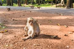 Macaco do templo em Angkor Wat Fotografia de Stock Royalty Free