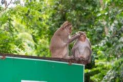 Macaco dois fotografia de stock