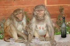Macaco dois bêbedo imagens de stock