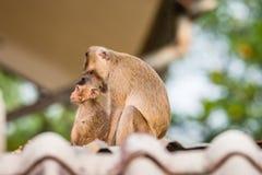 Macaco dos pares Fotos de Stock Royalty Free