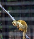 Macaco dourado Imagens de Stock Royalty Free