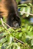 macaco Dourado-envolvido do urro Fotos de Stock Royalty Free