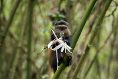Macaco dourado no parque nacional dos vulcões fotos de stock