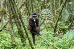 Macaco dourado no parque nacional dos vulcões fotografia de stock