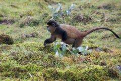 Macaco dourado posto em perigo que forrageia, parque nacional dos vulcões, Rwan Fotografia de Stock