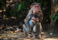 Macaco e bebê Fotos de Stock