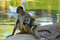 Macaco e bebê da mãe da mamãe no jardim zoológico dos animais selvagens do mundo Foto de Stock