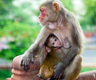 Macaco e bebê da mãe em Agra, Índia Imagem de Stock