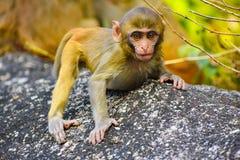 Macaco e rocha da montanha imagens de stock
