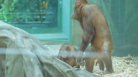 Macaco e seu bebê pequeno video estoque