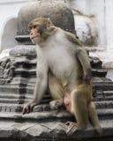Macaco em nepal Fotos de Stock Royalty Free
