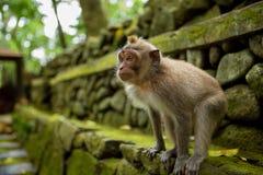 Macaco em Ubud Bali fotografia de stock