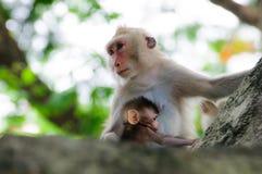Macaco em um fluxo da árvore Fotos de Stock Royalty Free