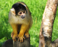 Macaco em um tronco Foto de Stock Royalty Free