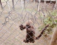 Macaco em uma cadeia foto de stock