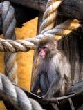 Macaco em uma rede Fotos de Stock Royalty Free