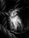 Macaco em uma rede Imagens de Stock Royalty Free
