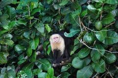 Macaco enfrentado branco do Capuchin em Manuel Antonio National Park, Cos imagem de stock