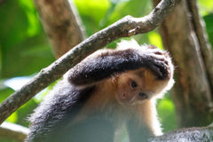 Macaco enfrentado branco uh oh foto de stock