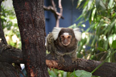 Macaco engraçado Foto de Stock
