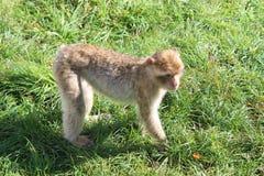 Macaco engraçado Imagem de Stock