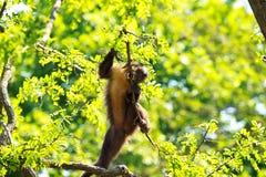 Macaco engraçado na árvore Imagem de Stock Royalty Free