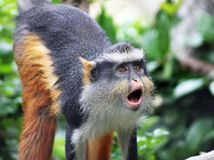 Macaco engraçado que urra fotos de stock