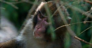 Macaco escondendo Imagens de Stock