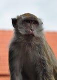 Macaco esperto Fotografia de Stock Royalty Free