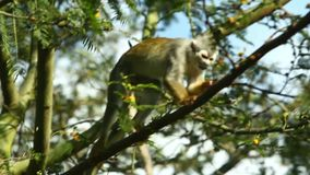 Macaco fêmea do Saimiri filme