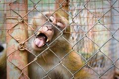 Macaco frenético Imagens de Stock