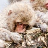 Macaco giapponese sveglio che dorme in una sorgente di acqua calda Fuscata del Macaca della scimmia della neve dal parco della sc fotografie stock