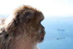 Macaco of Gibraltar. Detailed picture of the face Royalty Free Stock Images