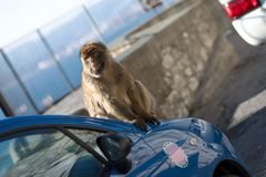 Macaco of Gibraltar Royalty Free Stock Photo