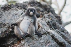 Macaco grávido Fotografia de Stock