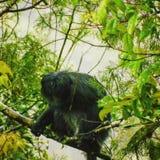 Macaco grande fotos de stock