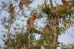 Macaco holandês com seus irmãos que sentam-se em um ramo de uma árvore alta Kumai, Indonésia Foto de Stock