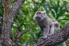 Macaco impertinente Fotografia Stock Libera da Diritti