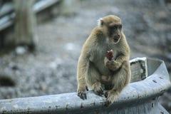 Macaco impertinente Foto de Stock Royalty Free