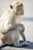Macaco impertinente imagem de stock