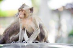 Macaco impertinente 7 imagem de stock