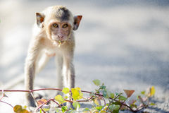 Macaco impertinente imagem de stock royalty free