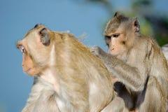 Macaco impertinente 6 imagem de stock