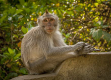 Macaco indonésio imagens de stock