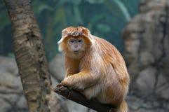 Macaco inquisidor fotografia de stock royalty free